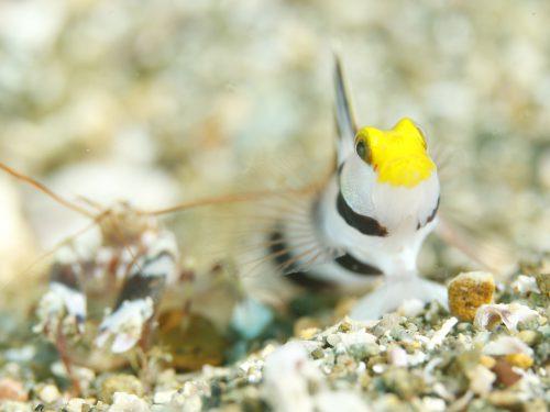 西伊豆黄金崎公園のアイドルネジリンボウは春から冬までダイバーを楽しませてくれます。