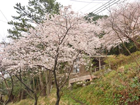 16-04-03sakura