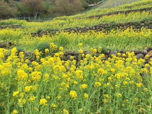 静岡県の伊豆半島の西側、西伊豆地区にある黄金崎ダイビングポイントの菜の花です。
