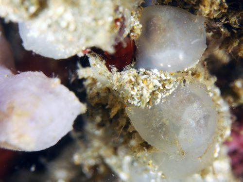 静岡県の伊豆半島の西側、西伊豆地区にある黄金崎でダイビング中に見たコウイカの卵です。