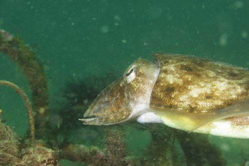 静岡県の伊豆半島の西側、西伊豆地区にある黄金崎でダイビング中に見たコウイカの産卵です。
