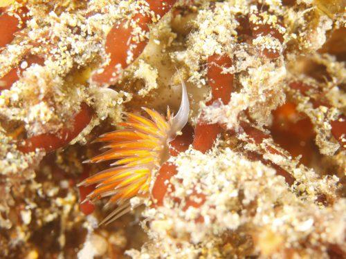 静岡県の伊豆半島の西側、西伊豆地区にある黄金崎でダイビング中に見たアカエラミノウミウシです。