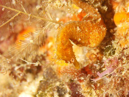静岡県の伊豆半島の西側、西伊豆地区にある黄金崎でダイビング中に見たハナタツです。