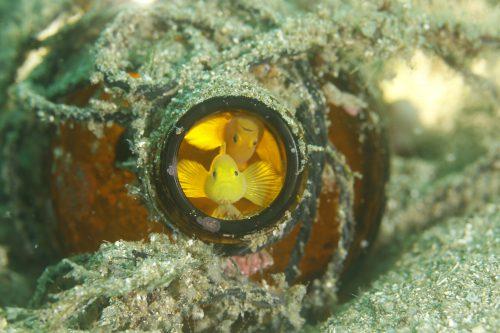 静岡県の伊豆半島の西側、西伊豆地区にある黄金崎でダイビング中に見たミジンベニハゼです。