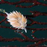 静岡県の伊豆半島の西側、西伊豆地区にある黄金崎でダイビング中に見たサクラミノウミウシです。