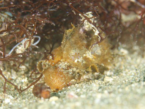 静岡県の伊豆半島の西側、西伊豆地区にある黄金崎でダイビング中に見たヒメメリベです。