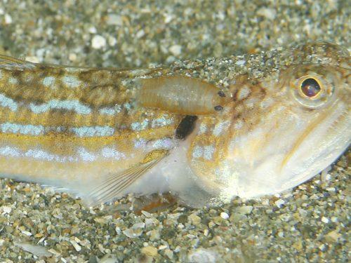 静岡県の伊豆半島の西側、西伊豆地区にある黄金崎でダイビング中に見た寄生虫です。