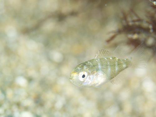 静岡県の伊豆半島の西側、西伊豆地区にある黄金崎でダイビング中に見たマダイの幼魚です。