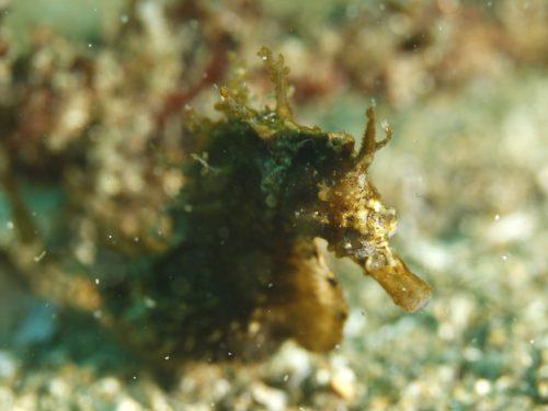 静岡県の伊豆半島の西側、西伊豆地区にある黄金崎でダイビング中に見たサンゴタツです。