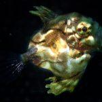 静岡県の伊豆半島の西側、西伊豆地区にある黄金崎でダイビング中に見たマトウダイです。