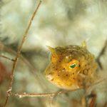 静岡県の伊豆半島の西側、西伊豆地区にある黄金崎でダイビング中に見たシマウミスズメです。