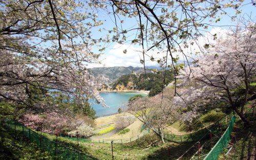 西伊豆黄金崎ダイビングの合間に桜を愛でる
