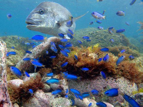 静岡県の伊豆半島の西側、西伊豆地区にある黄金崎でダイビング中に見たマダイです。