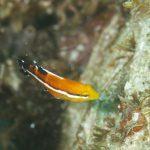 静岡県西伊豆町黄金崎公園ビーチのコブダイの幼魚の画像です。ここはダイビングはもちろんシュノーケリングや体験ダイビングも楽しめる絶景ポイントです。