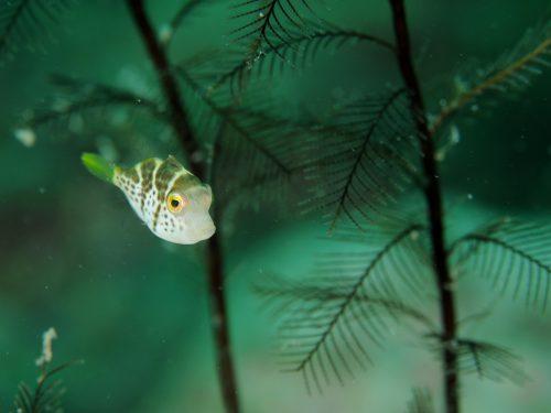 静岡県西伊豆町黄金崎公園ビーチのダイビングで見れたノコギリハギの画像です。ここはダイビングはもちろんシュノーケリングや体験ダイビングも楽しめる絶景ポイントです。