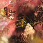 静岡県西伊豆町黄金崎公園ビーチのダイビングで見れたイソギンチャクモエビの画像です。ここはダイビングはもちろんシュノーケリングや体験ダイビングも楽しめる絶景ポイントです。