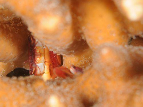 静岡県西伊豆町黄金崎公園ビーチのダイビングで見れたサンゴガニの画像です。ここはダイビングはもちろんシュノーケリングや体験ダイビングも楽しめる絶景ポイントです。