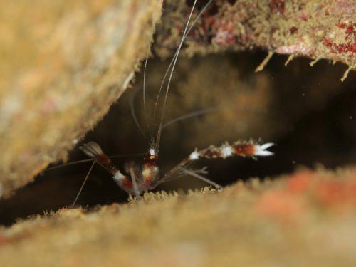 静岡県西伊豆町黄金崎公園ビーチのダイビングで見れたオトヒメエビの画像です。ここはダイビングはもちろんシュノーケリングや体験ダイビングも楽しめる絶景ポイントです。