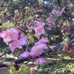 静岡県西伊豆町黄金崎公園ビーチの河津桜の画像です。ここはダイビングはもちろんシュノーケリングや体験ダイビングも楽しめる絶景ポイントです。