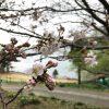 静岡県西伊豆町黄金崎公園ビーチの桜の画像です。ここはダイビングはもちろんシュノーケリングや体験ダイビングも楽しめる絶景ポイントです。