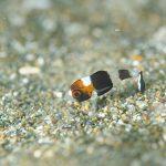 ムスジコショウダイ幼魚:静岡県西伊豆町黄金崎公園ビーチのダイビングで見れました。ここはダイビングはもちろんシュノーケリング(スノーケリング)や体験ダイビングも楽しめる絶景ポイントです。