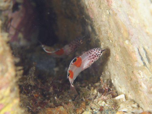 カンムリベラ幼魚:静岡県西伊豆町黄金崎公園ビーチのダイビングで見れました。ここはダイビングはもちろんシュノーケリング(スノーケリング)や体験ダイビングも楽しめる絶景ポイントです。