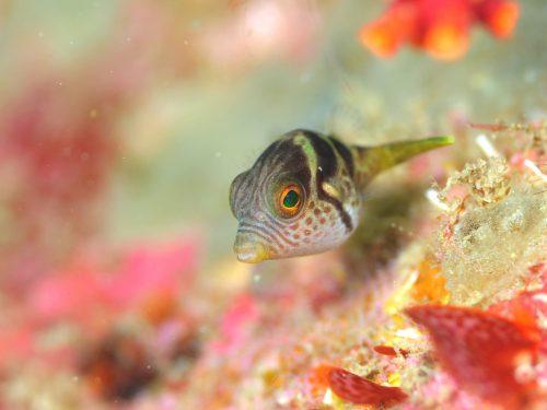 シマキンチャクフグの幼魚:静岡県西伊豆町黄金崎公園ビーチのダイビングで見れました。ここはダイビングはもちろんシュノーケリング(スノーケリング)や体験ダイビングも楽しめる絶景ポイントです。