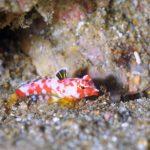 ミヤケテグリ幼魚:静岡県西伊豆町黄金崎公園ビーチのダイビングで見れました。ここはダイビングはもちろんシュノーケリング(スノーケリング)や体験ダイビングも楽しめる絶景ポイントです。