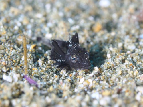 ホウボウ幼魚:静岡県西伊豆町黄金崎公園ビーチのダイビングで見れました。ここはダイビングはもちろんシュノーケリング(スノーケリング)や体験ダイビングも楽しめる絶景ポイントです。