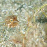 シマウミスズメ幼魚:静岡県西伊豆町黄金崎公園ビーチのダイビングで見れました。ここはダイビングはもちろんシュノーケリング(スノーケリング)や体験ダイビングも楽しめる絶景ポイントです。