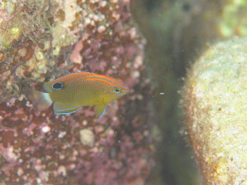 メガネスズメダイ幼魚:静岡県西伊豆町黄金崎公園ビーチのダイビングで見れました。ここはダイビングはもちろんシュノーケリング(スノーケリング)や体験ダイビングも楽しめる絶景ポイントです。