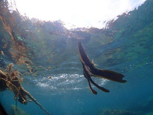 ミカヅキツバメウオ若魚:静岡県西伊豆町黄金崎公園ビーチのダイビングで見れました。ここはダイビングはもちろんシュノーケリング(スノーケリング)や体験ダイビングも楽しめる絶景ポイントです。