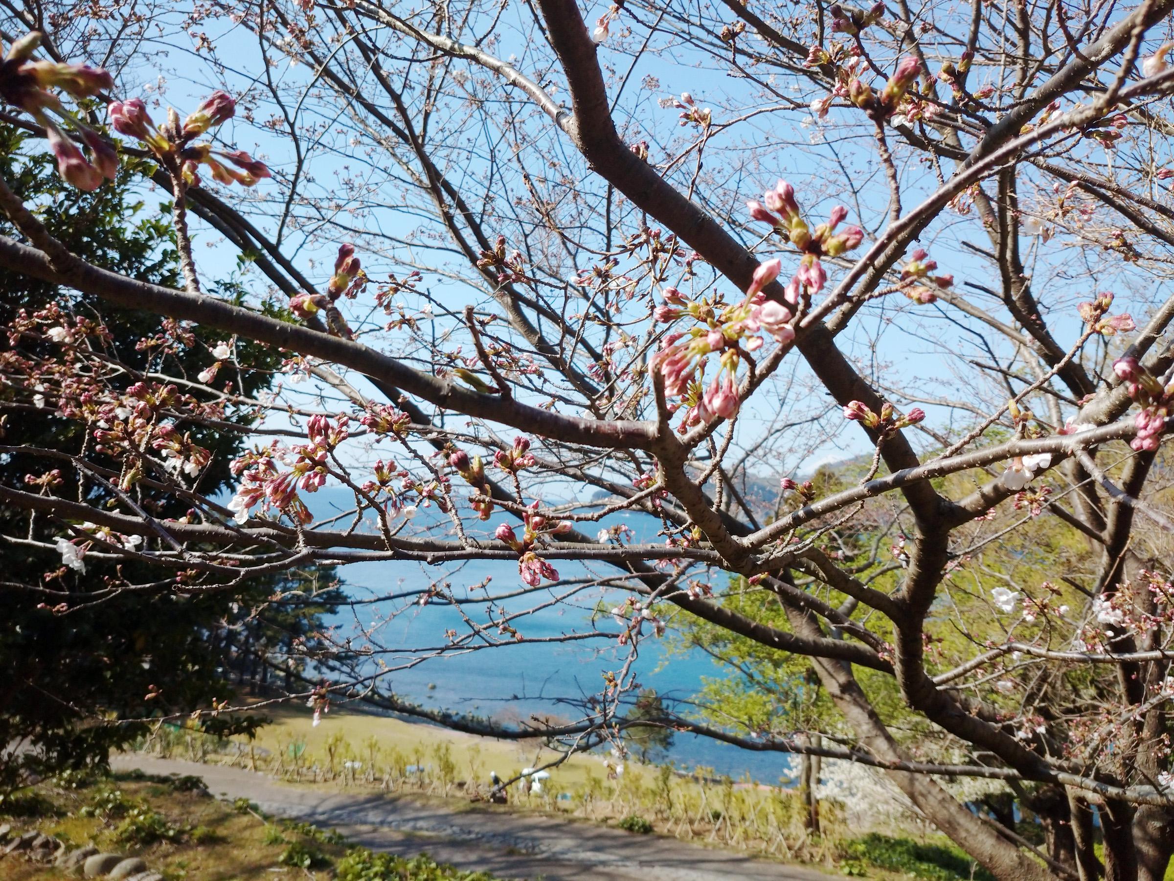 20-03-26sakura DSC_0047