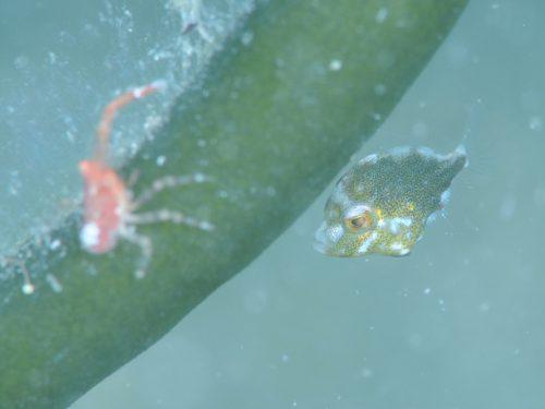 アミメハギ幼魚:静岡県西伊豆町黄金崎公園ビーチのダイビングで見れました。ここはダイビングはもちろんシュノーケリング(スノーケリング)や体験ダイビングも楽しめる絶景ポイントです。