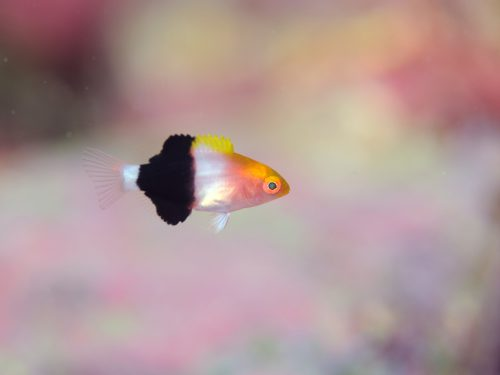 キツネベラ幼魚:静岡県西伊豆町黄金崎公園ビーチのダイビングで見れました。ここはダイビングはもちろんシュノーケリング(スノーケリング)や体験ダイビングも楽しめる絶景ポイントです。