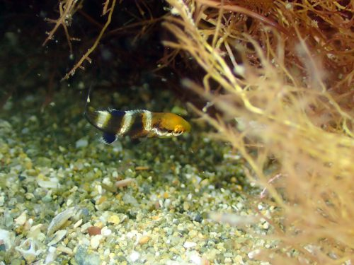 コブダイの幼魚:静岡県西伊豆町黄金崎公園ビーチのダイビングで見れました。ここはダイビングはもちろんシュノーケリング(スノーケリング)や体験ダイビングも楽しめる絶景ポイントです。