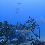 アオリイカの産卵:静岡県西伊豆町黄金崎公園ビーチのダイビングで見れました。ここはダイビングはもちろんシュノーケリング(スノーケリング)や体験ダイビングも楽しめる絶景ポイントです。