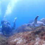 アオウミガメ:静岡県西伊豆町黄金崎公園ビーチのダイビングで見れました。ここはダイビングはもちろんシュノーケリング(スノーケリング)や体験ダイビングも楽しめる絶景ポイントです。